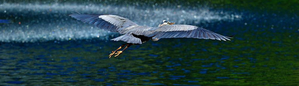 Heron in full flight